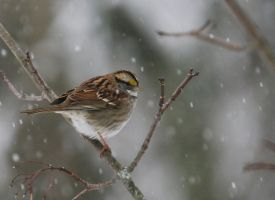 WhiteThroated Sparrow by barcon53
