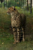 Cheetah stock 04 by windfuchs