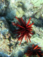 Red Sea Urchin by Fred647