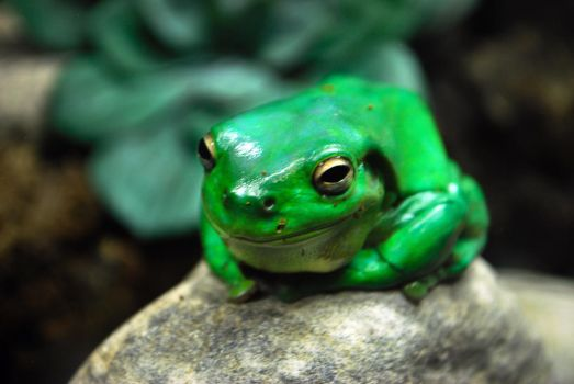 Green tree frog by IllusiaX