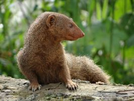 Mongoose by Blondefishy