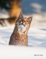 Bobcat 5 by Les-Piccolo