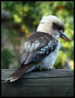 Kookaburra by NickAA