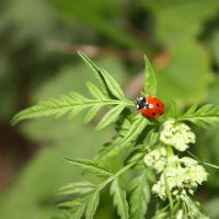 Ladybug by Angie-Pictures