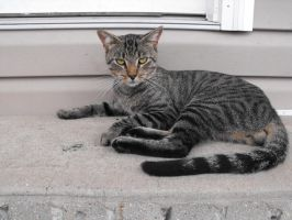 grey tabby stock 6 by tahbi