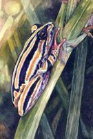 Painted Reed Frog by WillemSvdMerwe