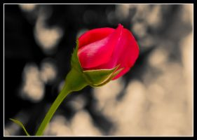 The lonely Rose by KellyManaghan
