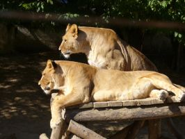 couple of lionesses by scarlette13