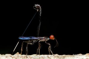 Crown Wasps by melvynyeo