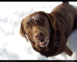Brown Labrador by AlexandreGuilbeault