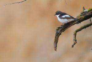 Flycatcher ready to hunt by phalalcrocorax