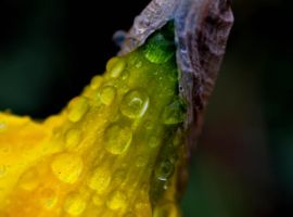 Tears of the Daffodil by snathaid-mhor