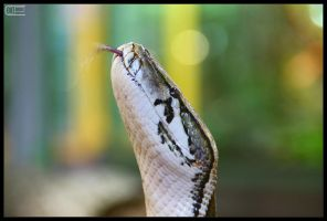 Python protrude the tongue by Crank0