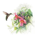 Hummingbird with Trumpetvine by ChristieNewman