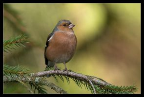 Cheerful Chaffinch by MessiahKhan