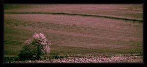 Purple field by LiveInPix