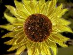 Fused Glass Sunflower by NorthwindStudio