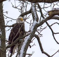 Bald Eagle by tszuta