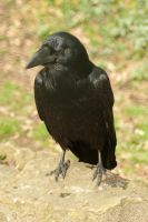 Raven 2 by steppelandstock