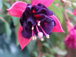 Fuschia surprise by chacolors