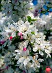Cherrie Blossoms by MeKamalaPhotography