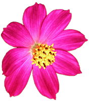 Pink Cosmo by jeanicebartzen27