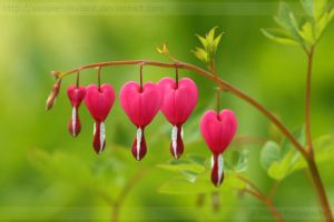 Bleeding Hearts 2442 by Sooper-Deviant