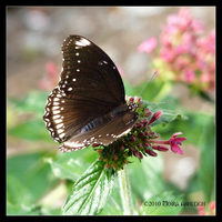 Open Brown Butterfly by Mogrianne