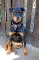 Charlea the Rottie 20 by teslaextreme