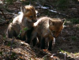 Fox cubs 3 by screenname911