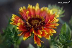 Flames of a Flower by mjohanson