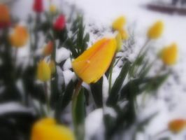 Tulips in the snow.... by Pidon-animal