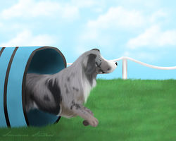 Miniature American Shepherd -- Commission by BV-Academy