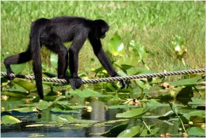 Real Spider Monkey 04 by Skip1967