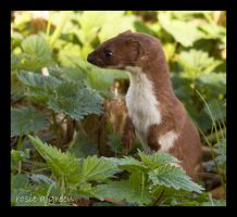 Weasel by rosie-a-g