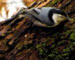 'Nother Nuthatch by Legrandzilla