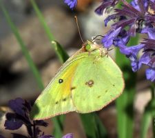 I think this is a orange sulphur by Nipntuck3