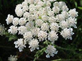 Queen Anne's Lace and Ant 2 by Windthin