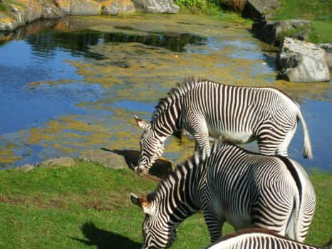 White with Black Stripes, Black with White Stripes by PorcelainKittyKat