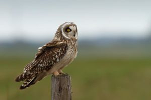 Short Eared Owl by thrumyeye