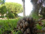 View of the Conifer cone by ArtistSoul13