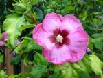Rose of Sharon by Bwabbit