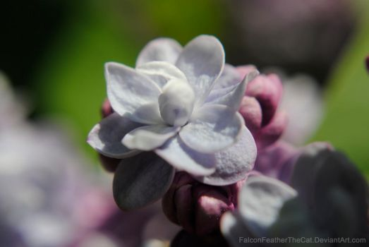 Blossom of lilac by FalconFeatherTheCat
