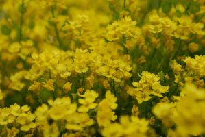 Field of yellow by GrnDrgn