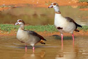 Egyptian Geese on Campus by Phoenix-61