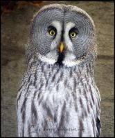 Great Grey Owl by Tienna