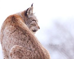 Lynx by FreyaPhotos