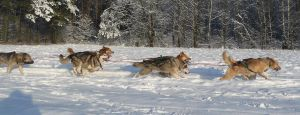 sled dogs running by Sayrel