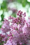 Lilacs by GhostHorseStudio