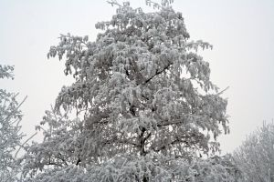 winterland tree tops by priesteres-stock